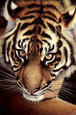 Eye Of The Tiger by Pip Mcgarry